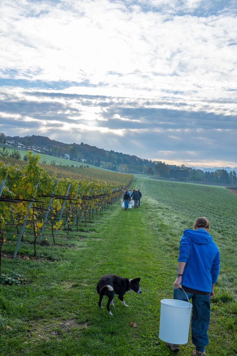 grape pickers in schenkon
